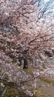 桜03.jpg
